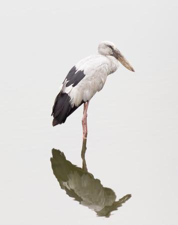 openbill: Openbill Stork in swamp