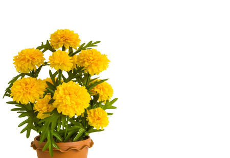 blosom: Blosom artificial marigold on white isolated. Stock Photo