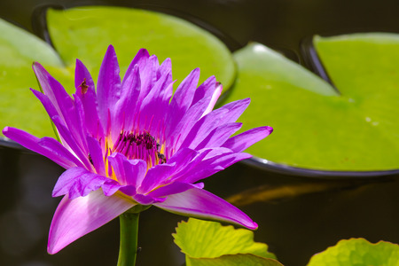 waterlily: Blooming violet waterlily with bees inside.