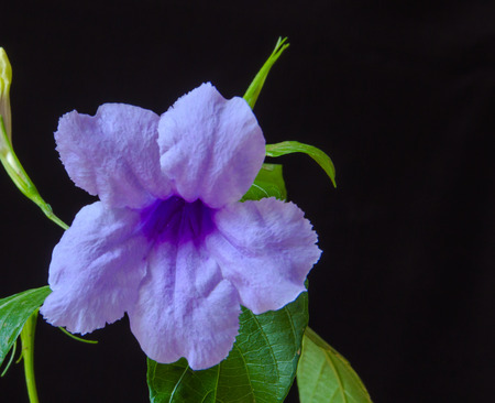 acanthaceae: Blooming waterkanon on black background,closeup shot. Stock Photo