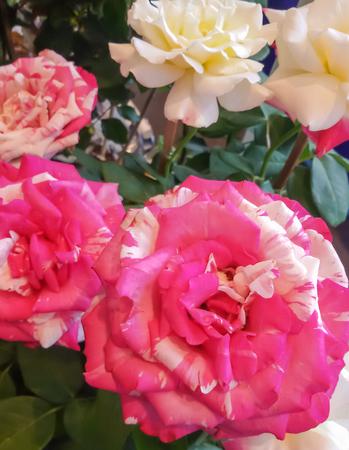 multi color: Beauty multi color rose blooming,closeup shot. Stock Photo
