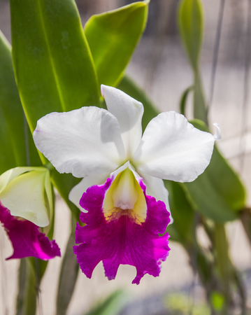 cattleya: Shot of white and violet petal with yellow inside of cattleya orchid flower.
