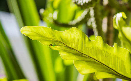 Closeup shot of birds nest fern leaf by morning sunlight.
