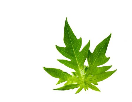 Organic fresh papaya leaf,closeup shot on white isolated.