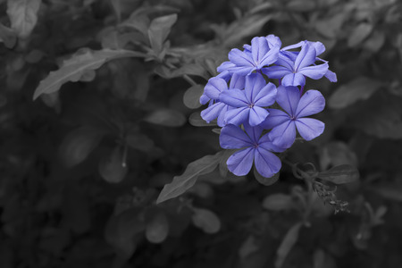 soft pedal: Close up to Plumbago flower in garden