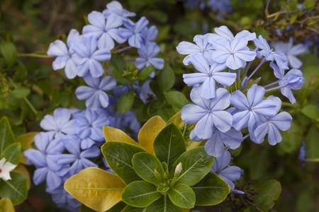 soft pedal: Closeup of a Plumbago flower. Stock Photo