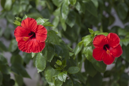 beauties: Flower Hibiscus, Amazing and mysterious hibiscus - flower for these beauties. Stock Photo