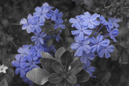 soft pedal: Close up to Plumbago flower in garden - (Color Splash)