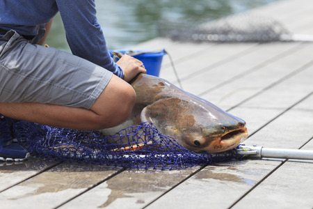 caught: Fisherman caught a giant catfish.