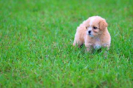 shihtzu: Shih-tzu puppy in the grass Stock Photo