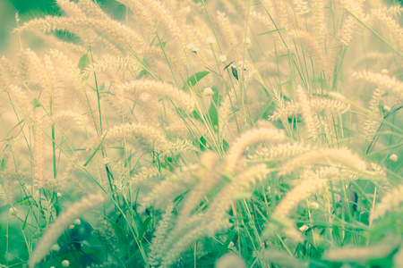 marsh plant: Flowering grass blossoms, vintage film style. - (Selective focus)