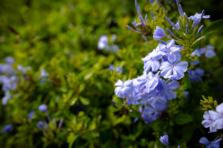 tropical shrub: Plumbago Auriculata is widely known as Plumbago Capensis. Other common names: Cape Plumbago, Cape Leadwort, Leadworth flower and Blue Plumbago. Tropical, evergreen, flowering shrub. Stock Photo
