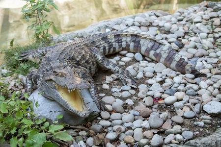 an open mouth: La vida silvestre de cocodrilo boca abierta en un zool�gico.