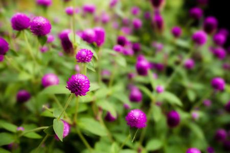globosa: Blackground of Globe amaranth or Gomphrena globosa flower.