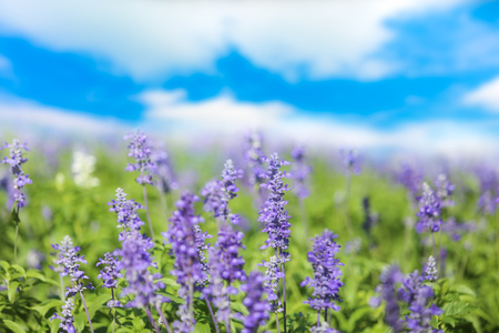 Sage or Salvia flowers in sunny garden or park against cloudy blue sky background banner for website.