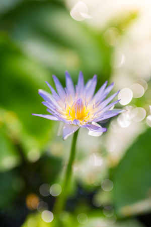 Selective focus on a single purple and yellow lotus flower with green background.