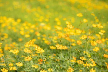 Beautiful garden yellow Cosmos bipinnatus flower (garden cosmos). Stock Photo