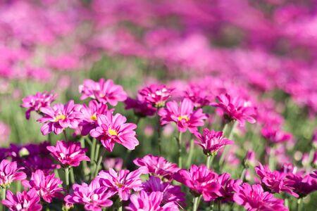 Beautiful garden Cosmos bipinnatus flower (garden cosmos).