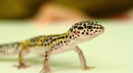 cold blooded: Juvenile leopard gecko with shallow depth of field Stock Photo