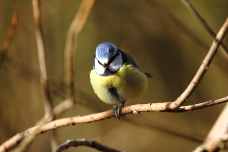 blue tit: Blue Tit perching on branch