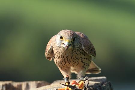 falco: European Kestral falco tinnunculus perched on a tree stump eating Stock Photo