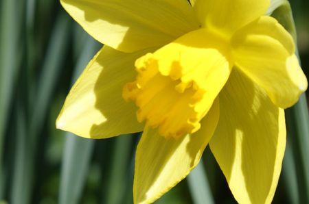 yellow daffodil Stok Fotoğraf