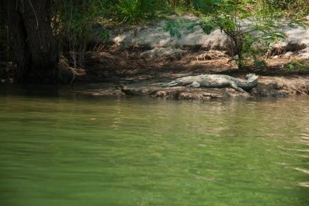 crocodile on the banks of the canyon Sumidero, Chiapas, Mexico