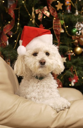 Poedel met kerst hoed en boom