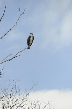 Osprey in rural Manitoba