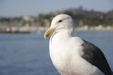 Seagull flying in California