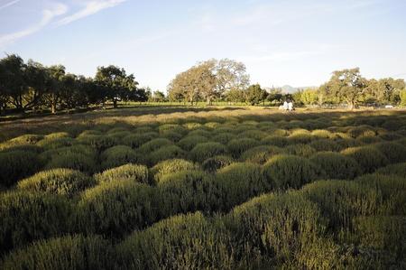 Lilac farm in Santa Ynez, California
