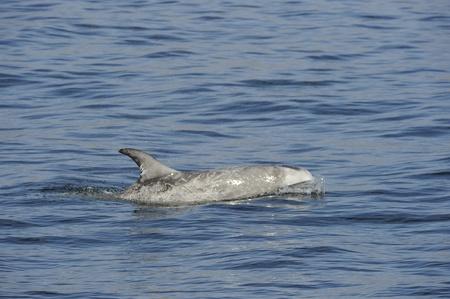 Risso dolphins in California