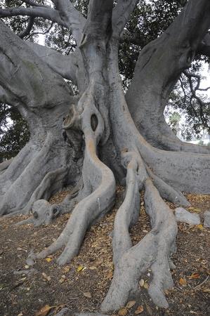 Giant Fig tree in Santa Barbara, Ca.,