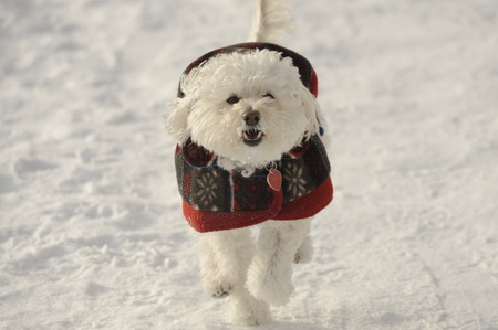 Poodle walking in the winter on the river Stock Photo