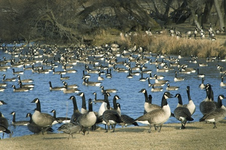 fall migration of Canada Geese
