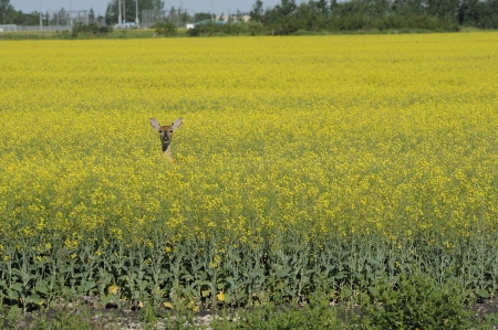 White tailed deer in Canola Field Stock Photo