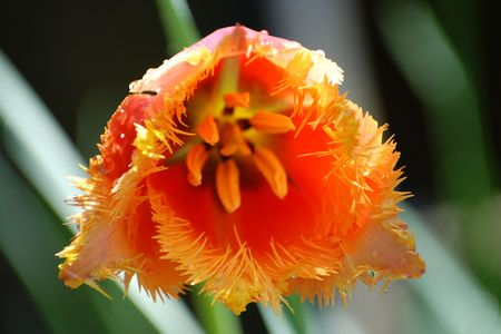frayed: Tulip - Frayed Orange
