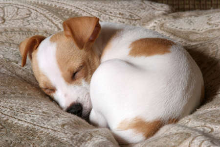 sleeping terrier puppy photo