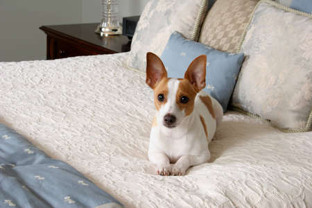 luxury bedroom: adorable terrier laying on bed Stock Photo