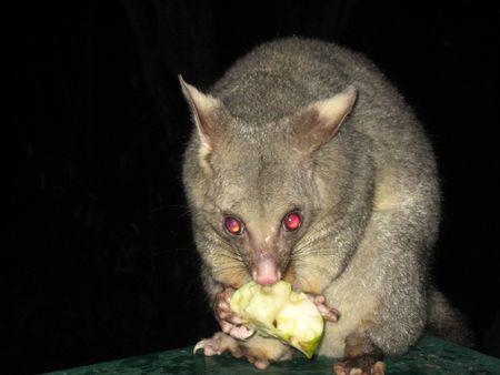 possum: Possum eating an apple Stock Photo