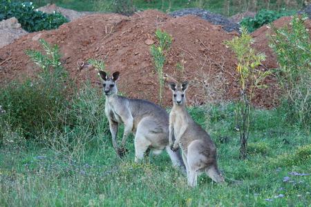 roo: Kangaroos at Lake Glenbawn (kangaroo, australian, australia) Stock Photo