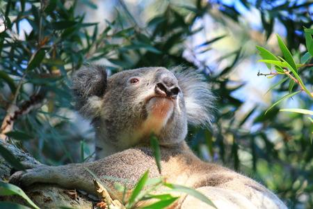 aussie: Wild Australian koala sitting in tree, Port Stephens, NSW, Australia. exotic iconic aussie mammal animal. Stock Photo