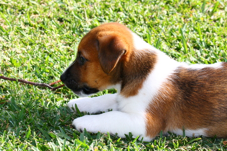 jack russell terrier puppy: Jack Russell Terrier puppy