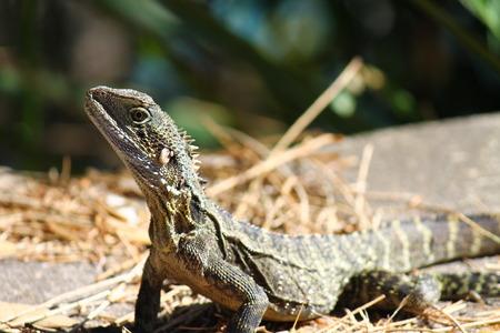 bearded dragon lizard: Lizard, bearded dragon, wild