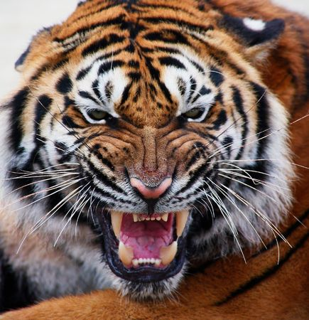 close up of a tigers face with bare teeth Tiger Panthera tigris altaica Stock Photo