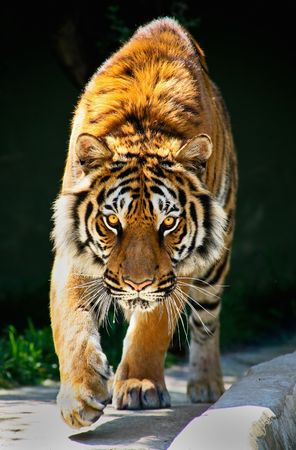 siberian tiger: tiger walking toward me and staring eyes to eyes Tiger Panthera tigris altaica Stock Photo