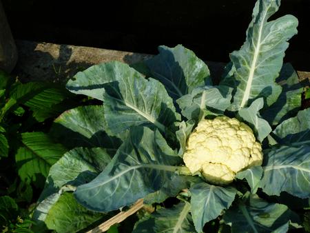 White cauliflower in the garden
