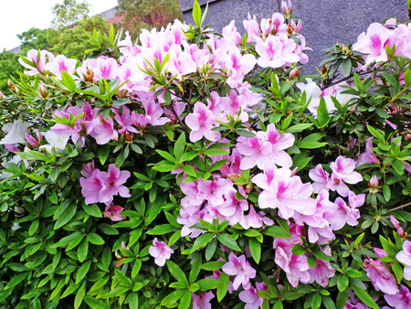 Full of pink rhododendron flowers Stock Photo