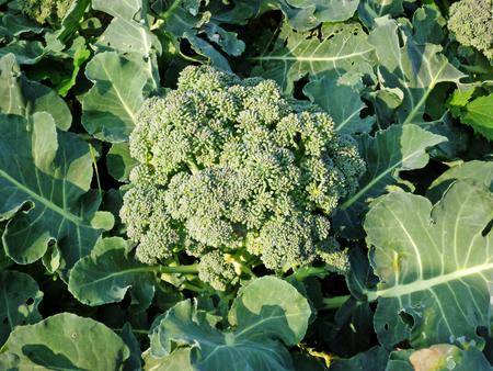 A broccoli in the vegetable garden
