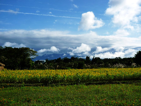 Blue sky, white clouds, the faraway mountains and sunflower fields